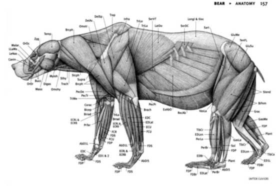 Anatomie animale illustration d'ours