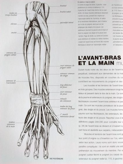 Explication muscles bras corps-humain