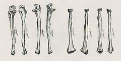 Illustration scientifique ulna et radius os