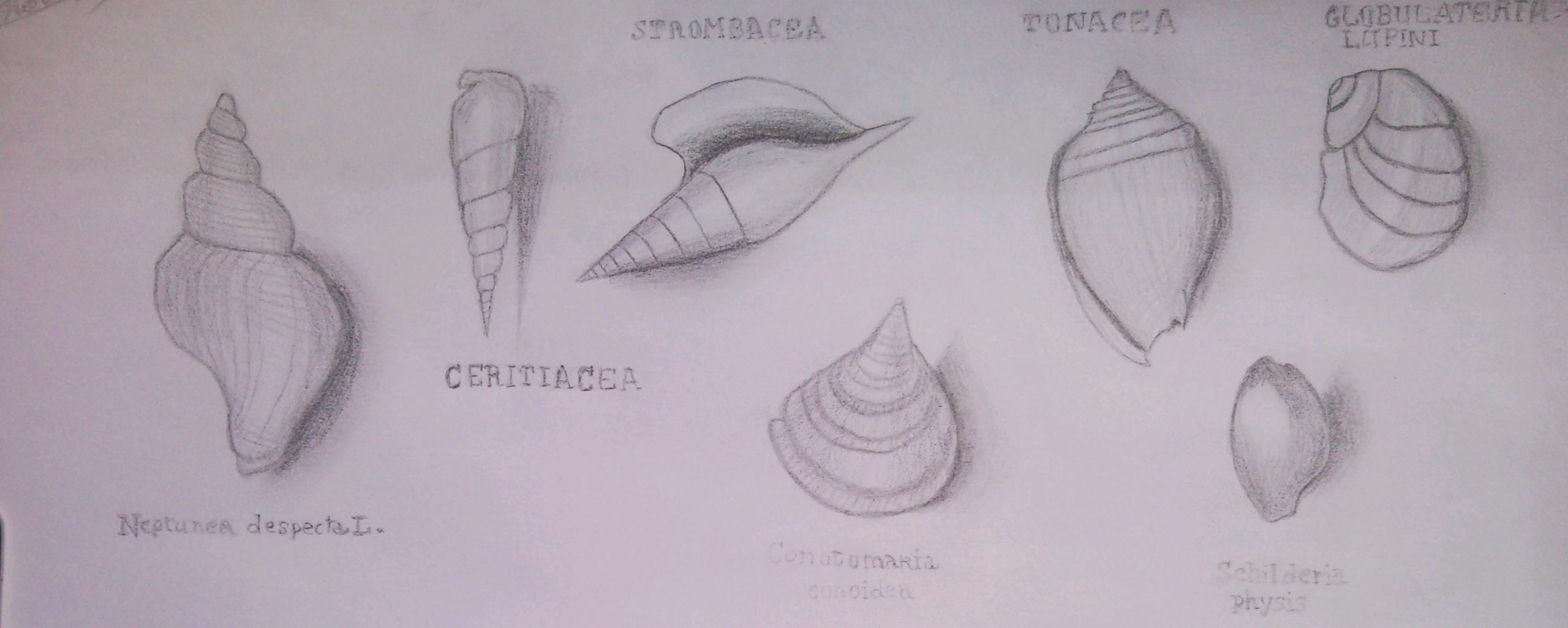 Mes dessin de coquillages musée de la paléontologie et de l'anatomie comparée