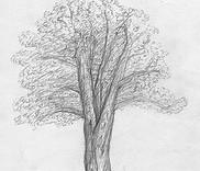 Dessin étude d'arbre au crayon à papier