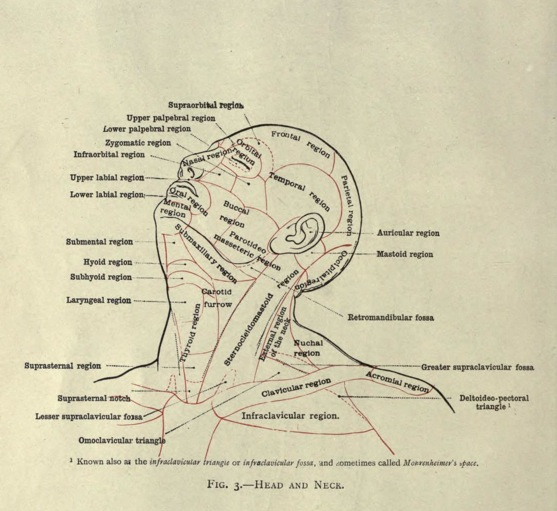 Extrait du livre An atlas of human anatomy for students and physicians Carl Toldt
