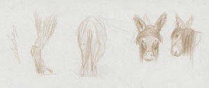 croquis baudet ane du Poitou dessiné au crayon marron