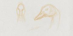 Croquis dessin naturaliste de canard Dendrocygna Viduata
