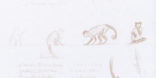 Dessin esquisse au crayon croquis de singe Capucin. Ménagerie, Museum National d'Histoire Naturel de Paris. © Fabien Lesbordes Artiste Vectanim 2011