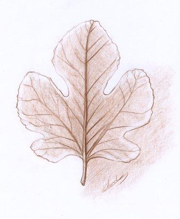 Botanique dessin de feuille © Fabien Lesbordes dessinateur