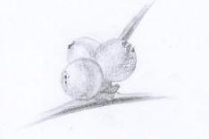 Dessin botanique boules gui © Fabien Lesbordes dessinateur