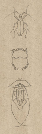3 croquis de coléoptères © Fabien Lesbordes dessinateur
