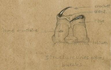 Dessin détails d'un bouche d'araignée © Fabien Lesbordes dessinateur