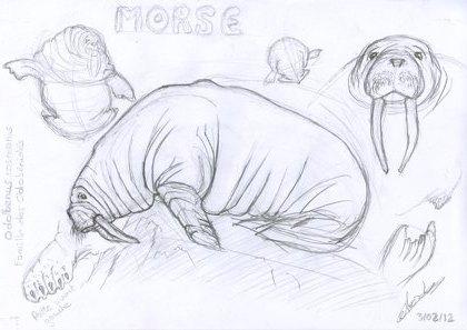 Planche étude de morse 7 dessins © Fabien Lesbordes dessinateur