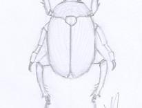 Dessin animalier au crayon de coléoptere © Fabien Lesbordes dessinateur animalier
