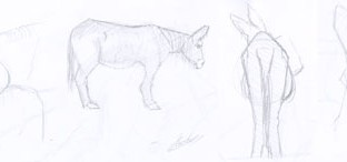 4 croquis d'âne du Poitou de profil, tête de profil de dos et esquisse de trois-quart