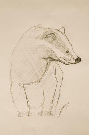 Croquis animalier de blaireau au crayon à papier © Fabien Lesbordes dessinateur animalier