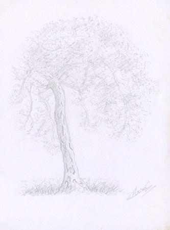Croquis d'arbre Le pin maritime du Vésinet