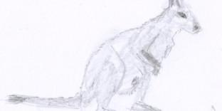 Croquis rapide d'animal le wallaby © Fabien Lesbordes dessinateur animalier