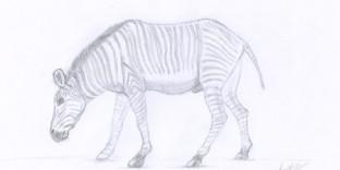 Croquis animalier de zèbre dessiné au crayon © Fabien Lesbordes dessinateur animalier
