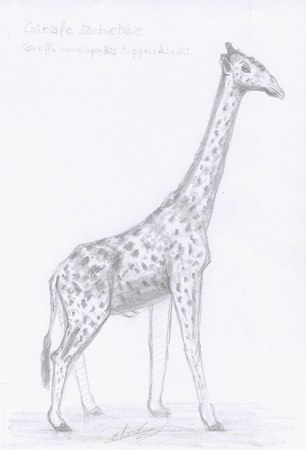 Croquis animalier de girafe tachetée esquissé au crayon