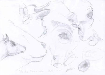 14 croquis de vache Tarentaise dessins crayonnés