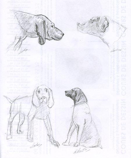 Dessin animalier de chien chasse braque allemand