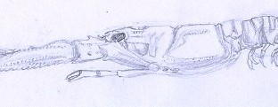 Langoustine une vue de dessus un dessin scientifique au trait