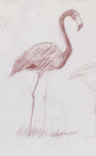 Dessin-animalier flamants-roses