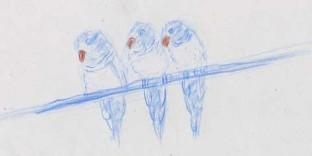 3 dessins de perruches art-animalier dessin au crayon de couleur