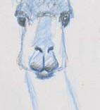 Tête animale de vigogne