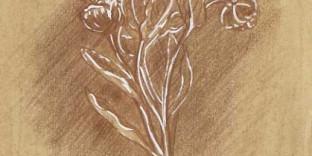 1 dessin de plante botanique fleur Hellebore