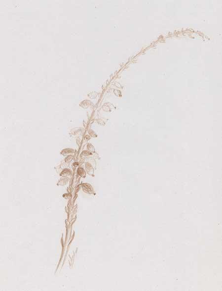 Mahonia plante dessinée sanguine