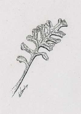 Plante Grasse De Rocher Illustration Encre De Chine