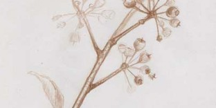 Plante d'hiver botanique dessin